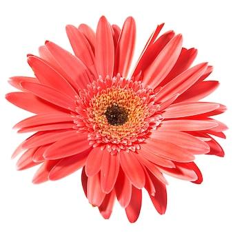 Gerbera czerwony kwiat na białym tle