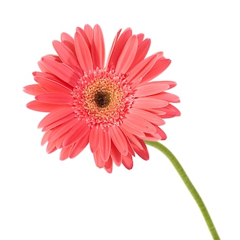 Gerbera czerwony kwiat z kropli wody na białym tle