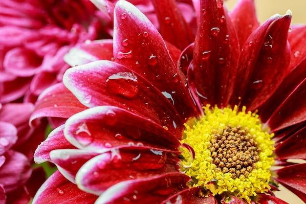 Gerbera krople rosy zbliżenie makro różowa gerbera z kroplami wody