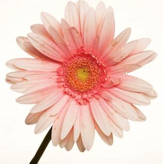 Gerbera kwiat na białym tle. transvaal stokrotka