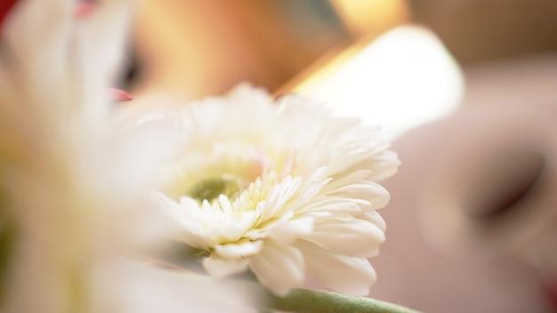 Gerbera kwiat na białym tle w nieostrości. słoneczne rozmyte tło