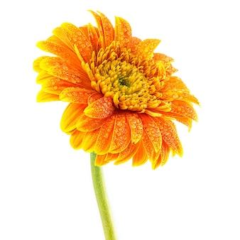 Gerbera kwiat z kropli wody na białym tle