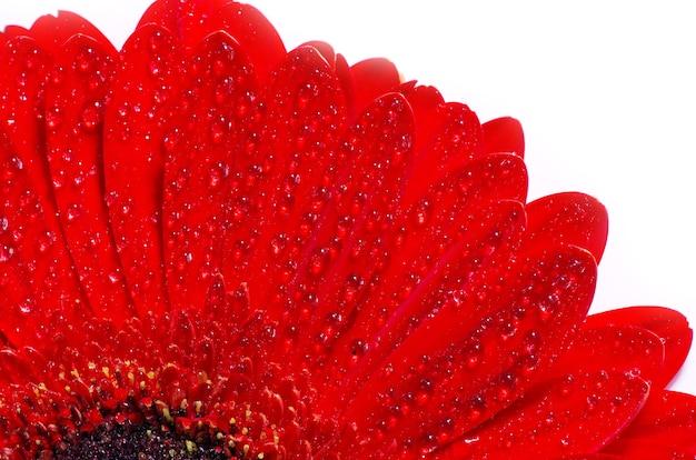 Gerbera kwiat zbliżenie na białym tle
