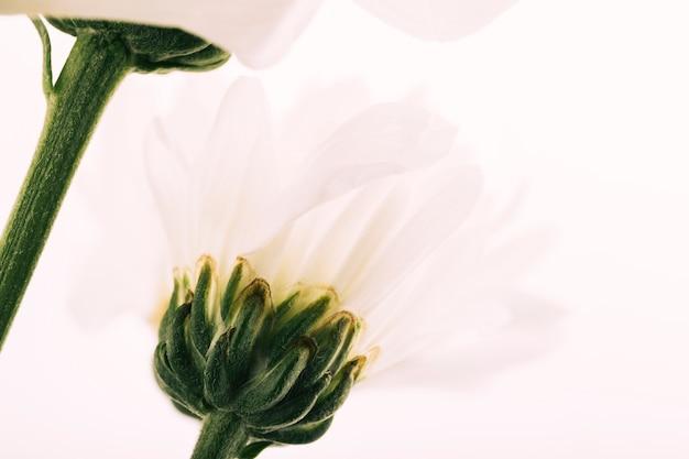 Gerbera kwitnie na białych tło