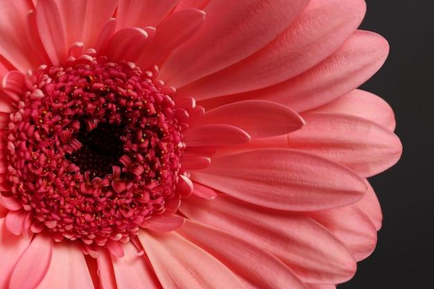 Gerbera piękny żywy kwiat makro