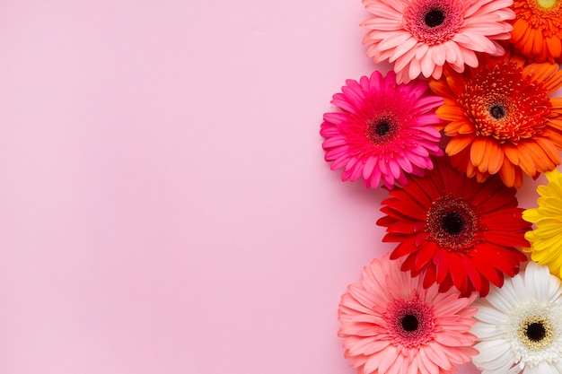 Gerbera stokrotka kwitnie z menchii kopii przestrzeni tłem