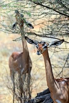Gerenuk (litocranius walleri); znany również jako waller's