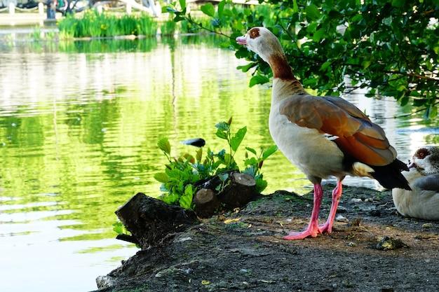 Gęś egipska na ziemi otoczona jeziorem z drzewami odbijającymi się w wodzie