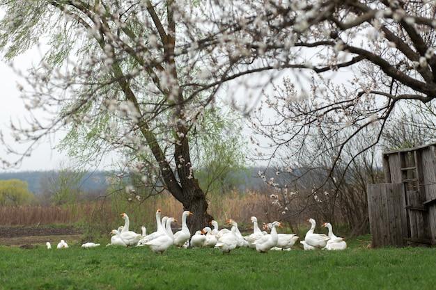 Gęsi chodzą wiosną po wsi na trawniku ze świeżą zieloną trawą na kwitnącym drzewie