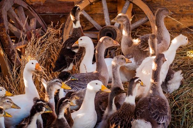 Gęsi i kaczki siedzą na farmie w drewnianej szopie, padają na nie promienie słońca