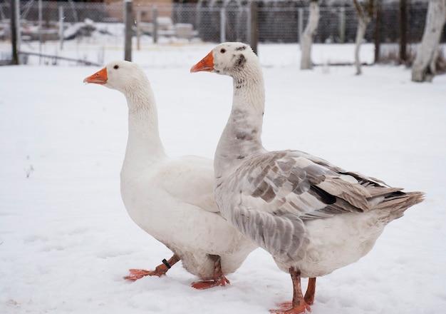 Gęsi na śniegu