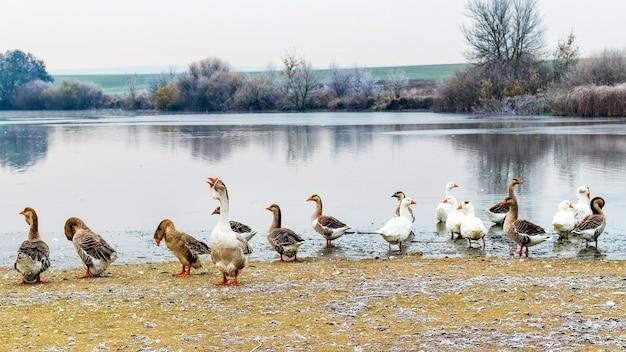 Gęsi nad rzeką jesienią podczas mrozu