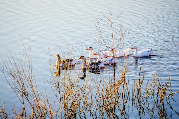 Gęsi pływają wzdłuż rzeki wśród krzaków przy brzegu