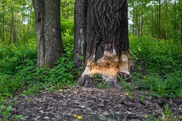 Gęste drzewo na wpół obgryzane przez korę bobrów