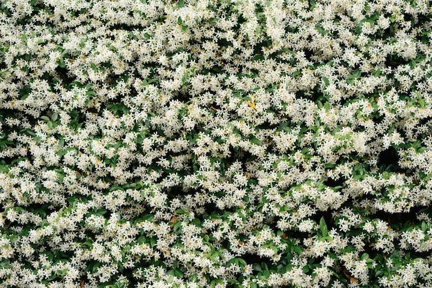 Gęste liście krzewów jaśminu z bliska białe kwiaty