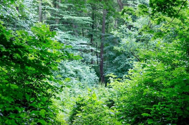 Gęste zarośla w lesie liściastym. letni poranek w lesie. terytorium dzikiej przyrody
