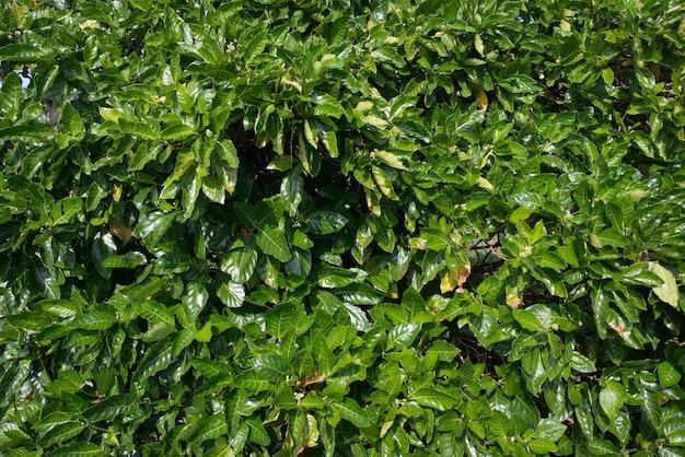 Gęste zielone liście krzewów. naturalne tło