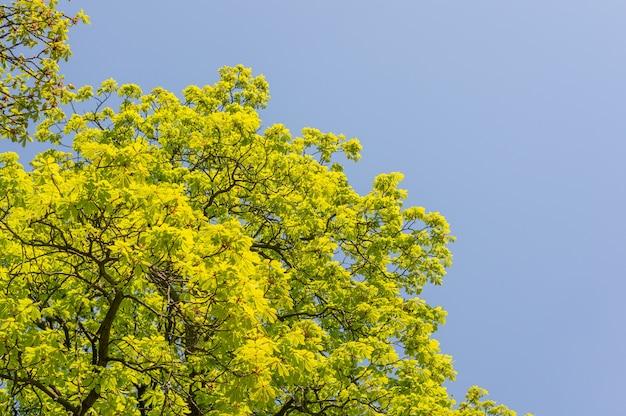 Gęste zielone liście na szczycie drzewa z niebem