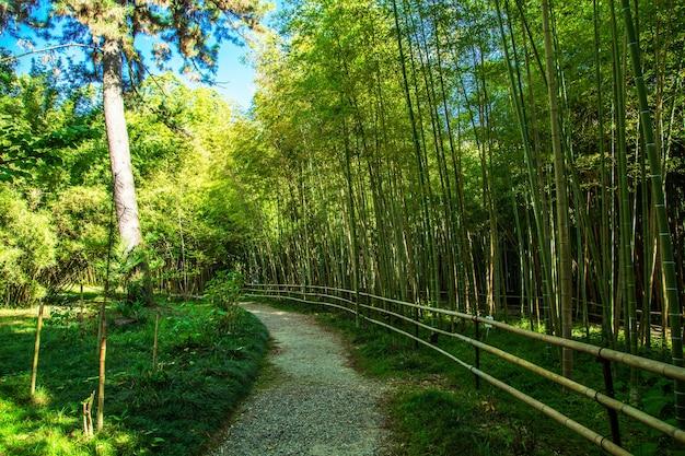 Gęsty bambusowy gaj w parku botanicznym w suchumi w abchazji. słoneczny dzień.