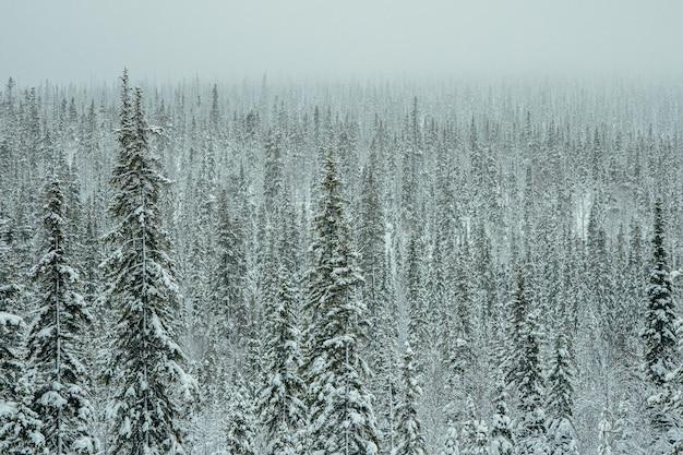 Gęsty las świerkowy pokryty śniegiem.