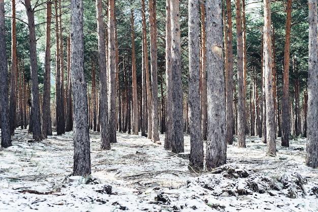 Gęsty las z wysokimi drzewami zimą