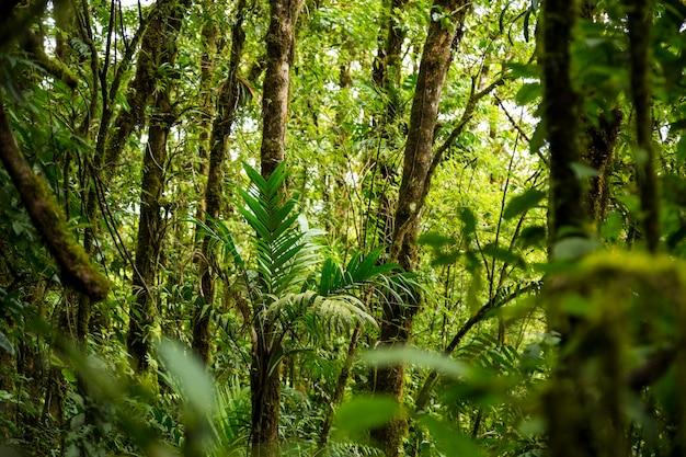 Gęsty tropikalny las deszczowy na kostaryce