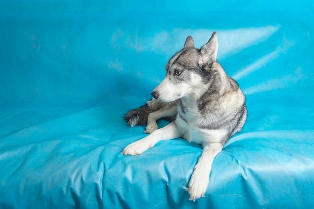 Gey i biały pies husky z niebieskimi oczami na niebieskim tle