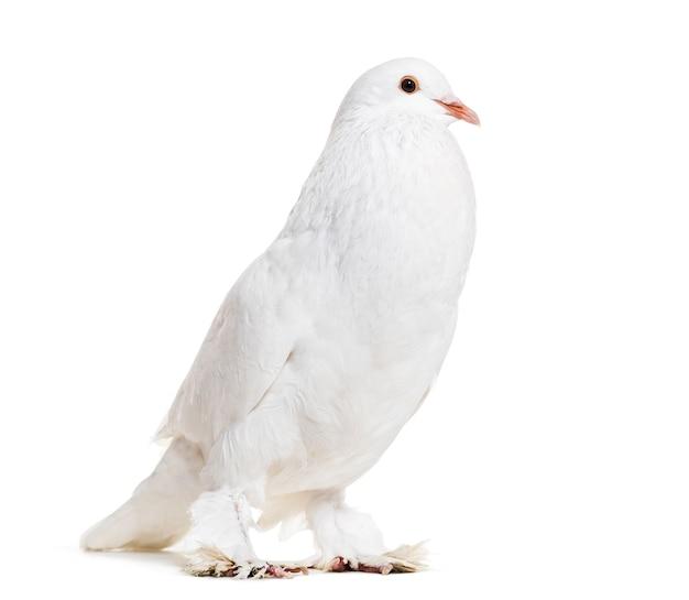 Ghent cropper, fantazyjny gołąb, stojący na białej powierzchni