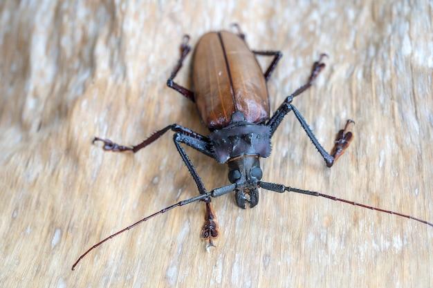 Giant fidżi kózkowate z wyspy koh phangan, tajlandia. zbliżenie, makro. gigantyczny chrząszcz z fidżi, xixuthrus heros jest jednym z największych żyjących gatunków owadów. duże tropikalne gatunki chrząszczy