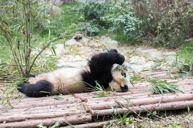 Giant panda gra podczas jedzenia bambusa