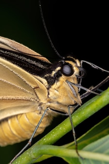 Giant swallowtail z nowego świata z podrodzaju heraklidów