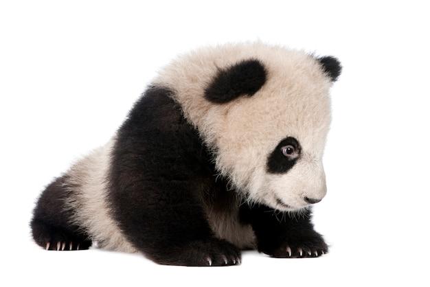 Gigantyczna panda, ailuropoda melanoleuca na bielu odizolowywającym