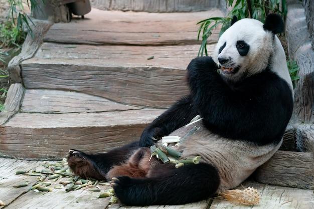 Gigantyczna panda je bambusa w parku.