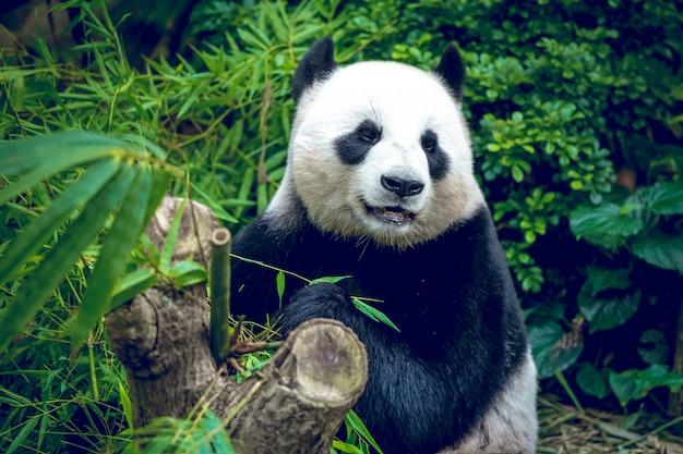 Gigantyczna panda w zielonym lesie dżungli