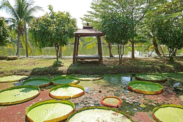 Gigantyczne płatki lilii wodnej victoria amazonica w stawie z drewnianą altaną w tle