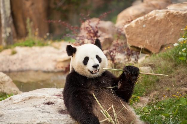 Gigantycznej pandy siedzący łasowania bambus strzela w zoo
