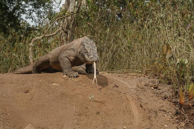 Gigantyczny jaszczurczy smok z komodo na wyspie komodo