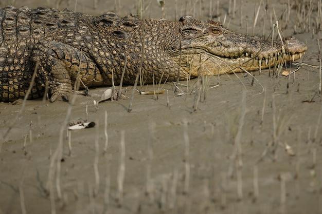 Gigantyczny krokodyl słonej wody złowiony w namorzynach sundarbans w indiach