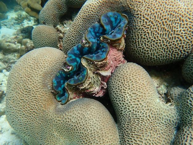 Gigantyczny milczek z koralowcami w morzu, podwodne życie morskie