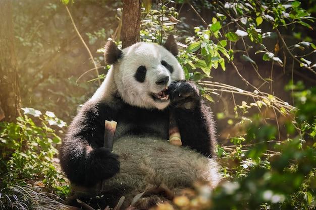 Gigantyczny miś panda w chinach