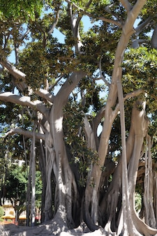 Gigantyczny stary ficus drzewo w ogródzie