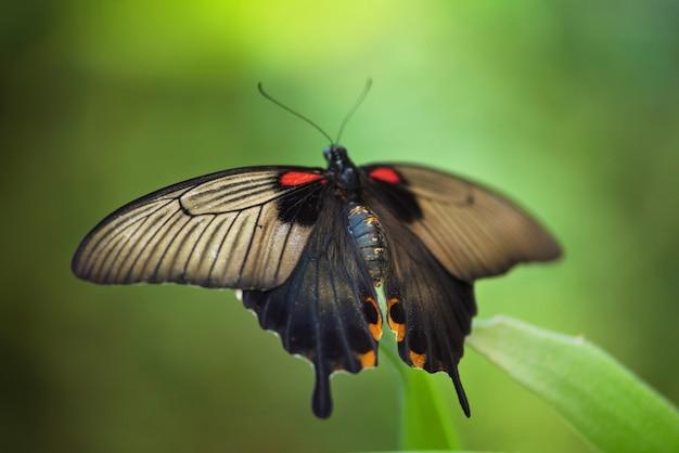 Gigantyczny tropikalny motyl na zielonym liściu (papilio memnon).