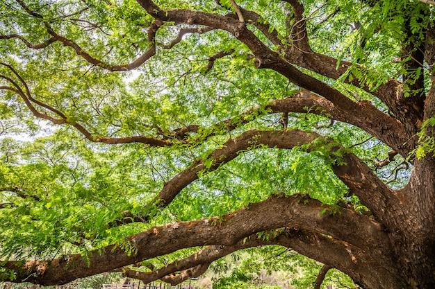 Gigantyczny zielony drzewo przy kanchanaburi lub big chamchuri tajlandia.