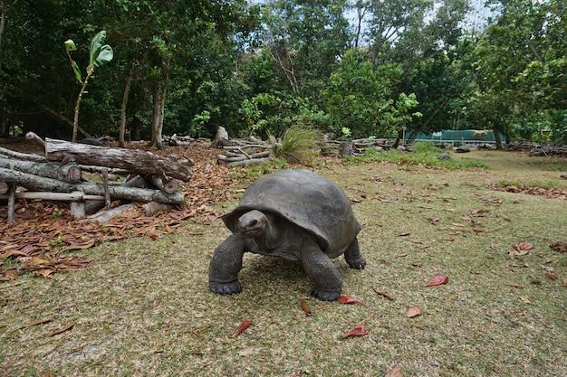 Gigantyczny żółw aldabra na wyspie na seszelach.
