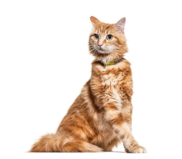 Ginger mieszaniec kota, na białym tle