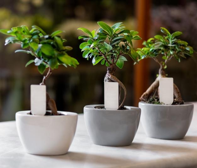 Ginkgo bonsai tree w doniczkach