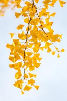 Ginkgo drzewa jesień