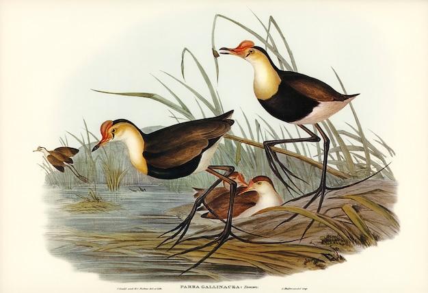 Ginowata parra (parra gallinacea) zilustrowana przez elizabeth gould