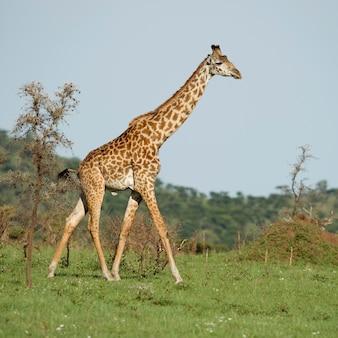 Girafe w serengeti