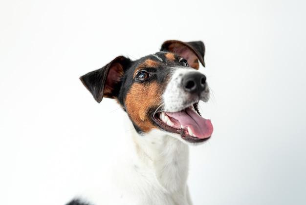 Gładki foksterier pies na białym tle
